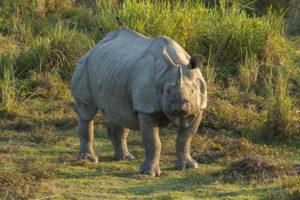 Rhinoceros_unicornis,_Kaziranga_(2006)