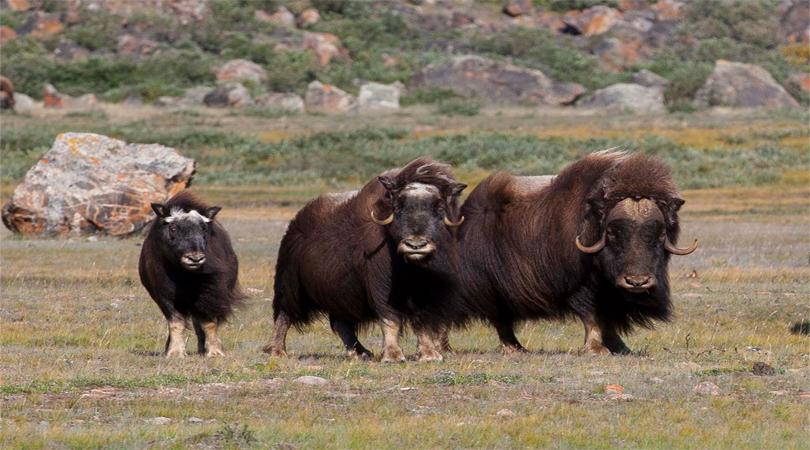 Kangerlussuaq Musk-Ox Safari